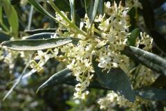 Olivenblüte a